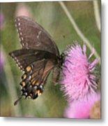 Swallowtail On Thistle Metal Print