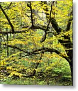 Swamp Birch In Autumn Metal Print