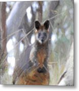 Swamp Wallaby Metal Print