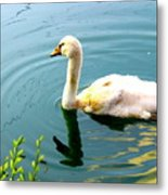 Swan Cygnet By Earl's Photography Metal Print