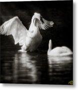 Swan Display Metal Print