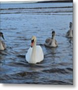 Swan Family At Sea Metal Print