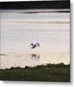 Swan In Flight Metal Print