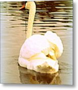 swan in the genus Cygnus Metal Print
