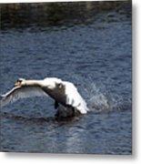 Swan Landing 3 Metal Print