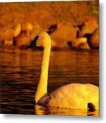 Swan Near Sundown Metal Print