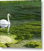 Swan On The River Lathkill Metal Print