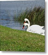 Swan Pair As Photographed Metal Print