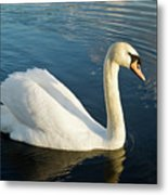 Swan Strutting Metal Print