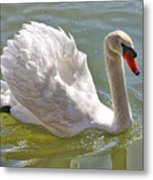 Swan Swimming By Metal Print