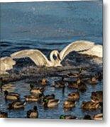 Swan Wings Reach Metal Print