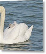 Mute Swan With Babies On Its Back Metal Print