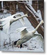 Swans Landing Metal Print
