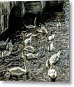 Swans On The Canal Metal Print