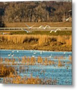 Swans Returning To The Roost At Riverlands 7r2_dsc3855_12202017 Metal Print