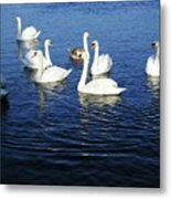 Swans Sligo Ireland Metal Print