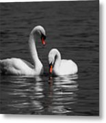 Swans Swimming Isolation Metal Print