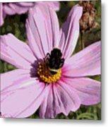 Sweet Bee On Pink Cosmos - Digital Art Metal Print