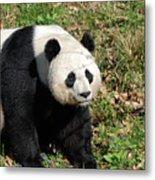 Sweet Chinese Panda Bear Sitting Down In Grass Metal Print