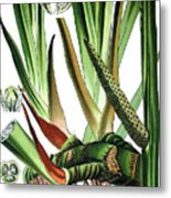 Sweet Flag Or Calamus, Acorus Calamus Metal Print