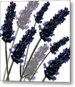 Sweet Lavender Metal Print