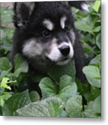 Sweet Markings On The Face Of An Alusky Puppy Dog Metal Print