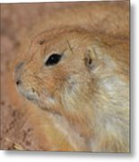 Sweet Profile Of A Prairie Dog Playing In Dirt Metal Print