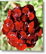 Sweet William Macro Metal Print