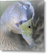 Sweetest Mallard Expression Metal Print