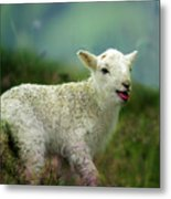 Swet Little Lamb Metal Print