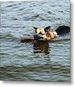 Swimming Dog Metal Print