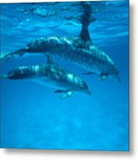 Swimming Dolphins Metal Print