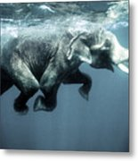 Swimming Elephant Metal Print