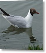 Swimming Gull Metal Print