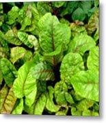 Swiss Chard In A Vegetable Garden 4 Metal Print