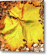Sycamore Leaf  In Fall Metal Print