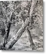 Sycamore Tree In Goliad State Park Metal Print by Karen Boudreaux