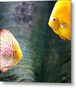 Symphysodon Discus Fishes Metal Print