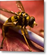 Syrphid Fly Poised Metal Print