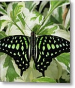 Tailed Jay Butterfly #2 Metal Print