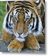 Takin A Break Tiger Metal Print