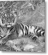 Takin It Easy Tiger Black And White Metal Print