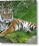 Takin It Easy Tiger Metal Print