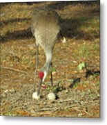 Taking Care Of Her Eggs  Metal Print
