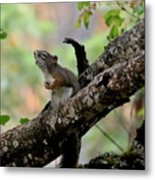 Talking Squirrel Metal Print