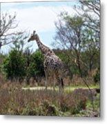 Tall Giraffe Metal Print