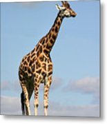 Tall Giraffe In A Field Fota Ireland Metal Print