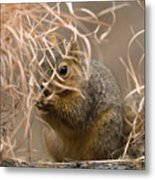 Tall Grasses Make Up A Fox Squirrels Metal Print by Joel Sartore