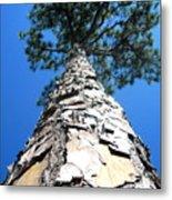 Tall Pine Tree In Summer Metal Print