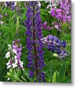 Tall Purple Luppin Metal Print